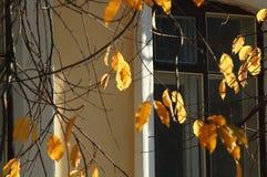 被日光照射了秋天樱桃树在一个老房子窗口的背景离开和光秃的分支 库存照片