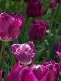 被日光照射了紫色郁金香有绿色背景 免版税库存图片