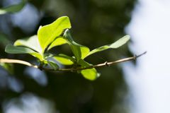 被日光照射了绿色叶子在春天 免版税图库摄影