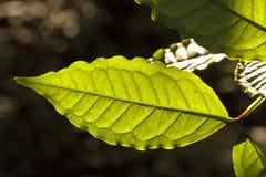 被日光照射了绿色的叶子 免版税库存照片