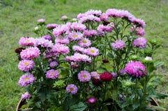 被日光照射了美好的翠菊在花圃里 免版税库存照片