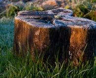 被日光照射了被霜蒙着的树桩 库存照片