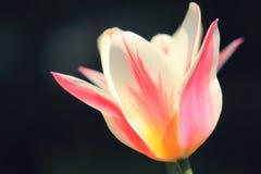 被日光照射了软的焦点桃红色和白色玛里琳郁金香头状花序 库存图片