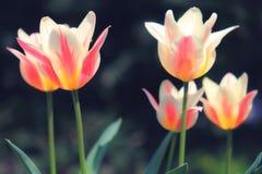 被日光照射了软的焦点桃红色和白色玛里琳郁金香 库存图片