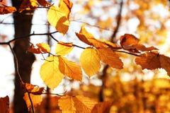 被日光照射了金黄叶子在秋天森林里 库存图片