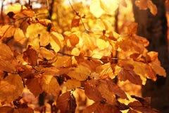 被日光照射了金黄叶子在秋天森林里 免版税库存图片