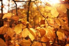 被日光照射了金黄叶子在秋天森林里 免版税库存照片