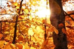 被日光照射了金黄叶子在秋天森林里 免版税图库摄影