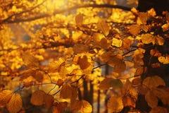 被日光照射了金黄叶子在秋天森林里 库存照片