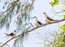 被昂首的燕鸥,低小岛,大堡礁, QLD,澳大利亚 库存照片