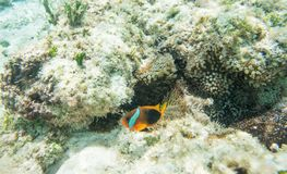 被昂首的Clownfish和礁石银莲花属 免版税库存照片