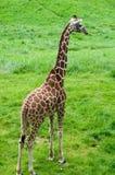 被明确表达的长颈鹿我的围场 免版税库存照片