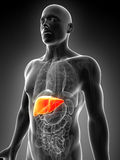 被显示的男性肝脏 库存照片