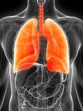 被显示的男性肺 库存图片