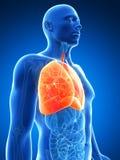 被显示的男性肺 免版税库存图片