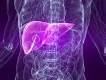 被显示的肝脏 库存图片