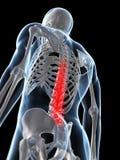 被显示的脊椎 免版税库存照片