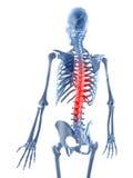 被显示的脊椎 免版税库存图片