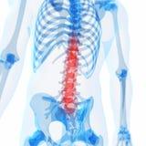 被显示的脊椎 图库摄影