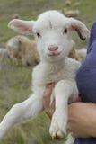 被暂挂的羊羔 库存图片