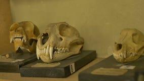 被暴露的动物的古老头骨 股票视频