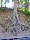 被暴露的树根 免版税库存照片