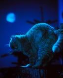 被月光照亮的猫 免版税图库摄影