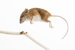 被杀死的老鼠 图库摄影