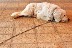 被束缚的狗 库存照片