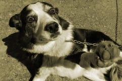 被束缚的狗 免版税库存照片