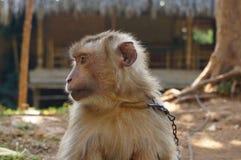 被束缚的猴子在一个旅游区 库存图片