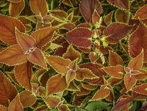 被构造的五颜六色的红色和黄色九重葛叶子关闭  库存照片