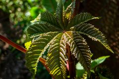 被构造的深绿与红色,非常美丽的蓖麻,蓖麻草本种属的叶子 免版税图库摄影