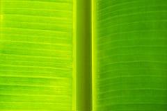 被构造的香蕉叶子 库存图片