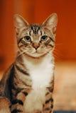 被架设的猫好奇耳朵 库存图片