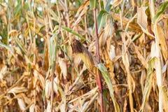 被染黄的成熟玉米 免版税库存照片