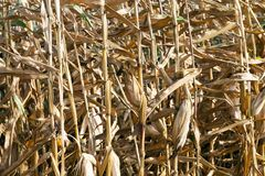 被染黄的成熟玉米 免版税库存图片