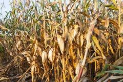 被染黄的成熟玉米 库存图片