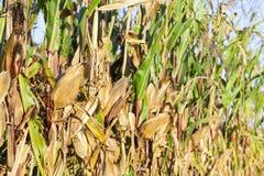 被染黄的成熟玉米 库存照片