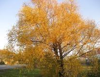 被染黄的柳树在9月 在结构树的黄色叶子 免版税库存图片
