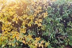 被染黄的植物在秋天作为背景 布什在秋天 免版税库存图片