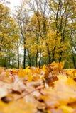 被染黄的槭树在秋天 免版税库存图片
