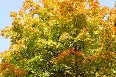 被染黄的槭树 免版税图库摄影