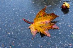 被染黄的秋天枫叶 叶子和栗子在水坑 秋天雨 免版税图库摄影