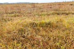 被染黄的草,秋天 免版税库存照片