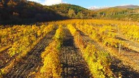 被染黄的葡萄树行,在秋天 股票录像