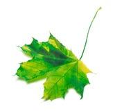 被染黄的槭树叶子 库存照片