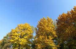 被染黄的槭树在秋天 免版税库存照片