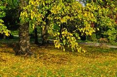 被染黄的白杨树在城市公园-秋天晴朗的风景 免版税库存照片