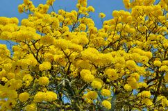 被染黄的雨林开花了树 免版税库存图片